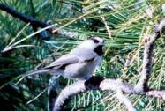 Mountain Chickadee2 PJ